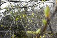 Spring Buds (6 of 14)