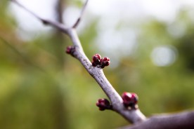 Spring Buds (9 of 14)